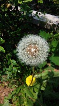 Flowers, Dandelion, Nature, Spring, Mr Hall