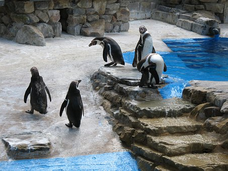 Water, Penguin, Penguins, Steps, Group, Bird, Animal