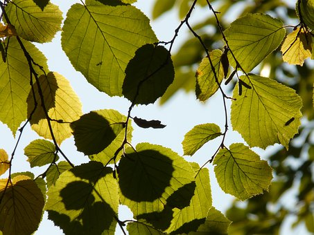 Leaf, Leaves, Backlighting, Walnut, Hazelnut