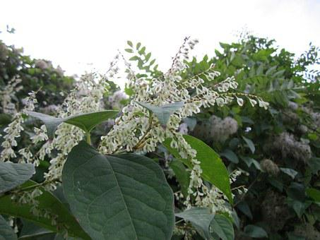 Fallopia Japonica, Japanese Knotweed, Wildflower, Flora