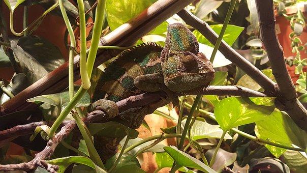 Chameleon, Camelion, Jungle, Colorful, Color, Animal