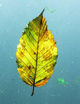 Autumn, Leaf, Golden Autumn, Sheet In The Water, Leaves