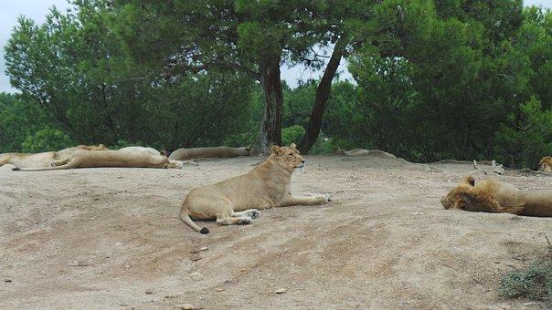 Lion, Lioness, Reserve Africaine Sigean, Animals