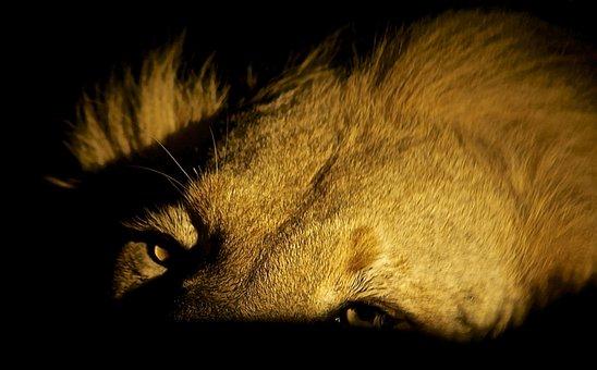 Lion, Feeding, Night, Wildlife, Mammal, Animal, Cat