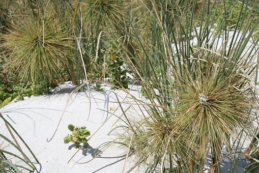 Dune Grass, Needle Grass In The Sand, Dune Fauna