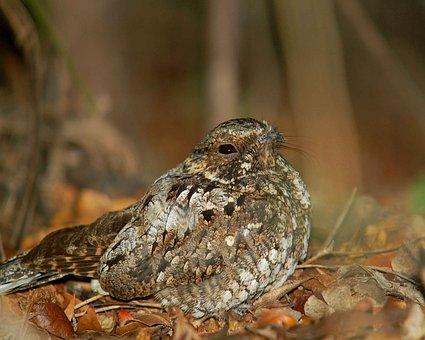 Noctitherus, Caprimulgus, Bird, Nightjar, Rican, Puerto