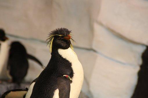 Penguin, Rockhopper Penguin