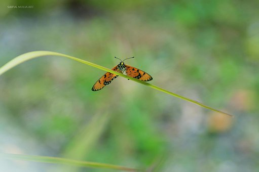 Butterfly, Blade Of Grass, Grass, Flower, Plant, Prange