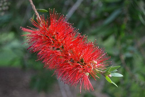 Flower, Bottle Brush, Wildflower, Red Flower, Floral