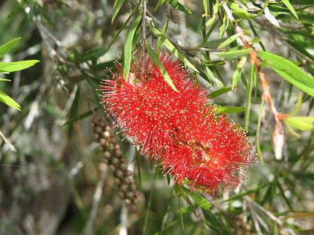 Bottle-brush Bloom, Bloom, Red, Leaves