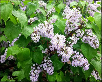 Lilac, Flower, White, Blosom, Gardening, Nature