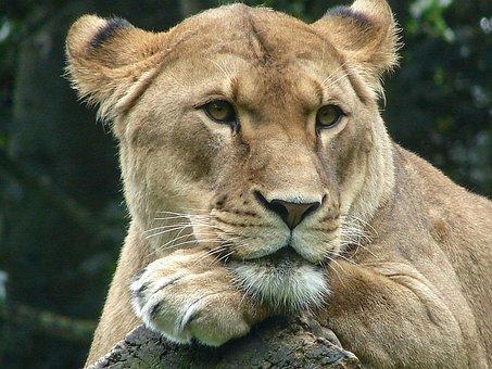 Lioness, Animal World, Predator, Africa, Wild, Animal