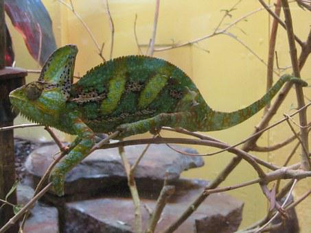 Chameleon, Lizard, Green, Reptile, Wildlife, Nature