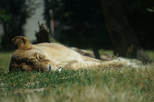 Lioness, Lion, Zoo, Animal, Sleep, Grass