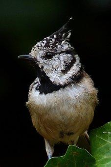 Animal, Bird, Crested Tit, Lubatum Tit, Foraging