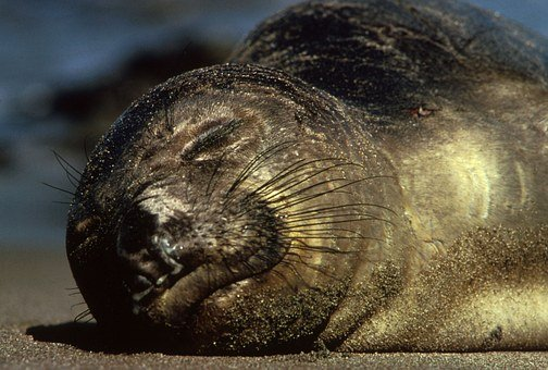 Northern Elephant Seal, Animal, Wildlife, Cute