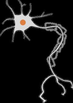 Axon, Brain, Cell, Dendrites, Nerve, Neuron, Soma