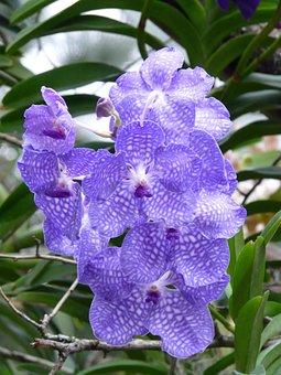Blue Vanda Orchid, Orchid, Blue, Flower, Blossom, Bloom