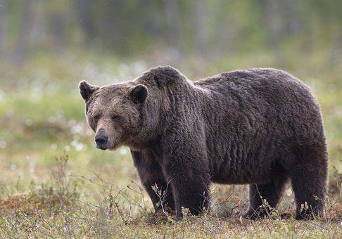 Bear, Brown Bear, The Beast, Big, Adult, Suomussalmi