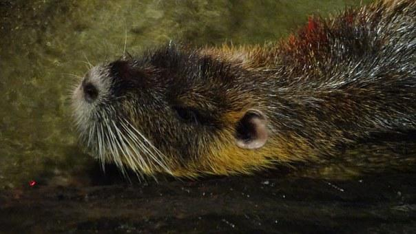 Rodent, Castor, Malaysia