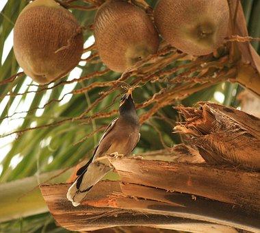 Coconuts, Tree, Dried, Mynah, Common Myna, Bird