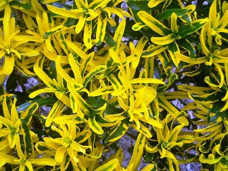Leaf, Codiaeum Variegatum, Yellow, Green