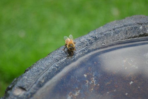 Honeybee, Drink, Insect, Buckfast, Golden Bee, Water