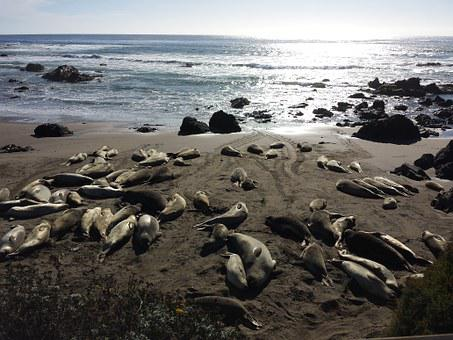 Elephant Seals, Seals, Wildlife, Sea, Animals, Beach