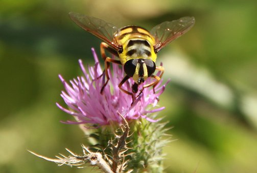 Hoverfly, Flower Fly, Bee, Black, Flowers, Striped