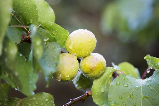 Fruit Fact, Fruit, Peaches, Green, Green Leaves, Plant