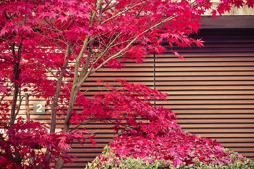 Ornamental Maple, Japan, Plant, Nature, Garden