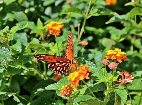 Butterflay, Gulf Fritillary, Passion Butterfly