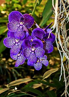 Orchid, Vanda, Blue, Violet, Color, Flower, Plant