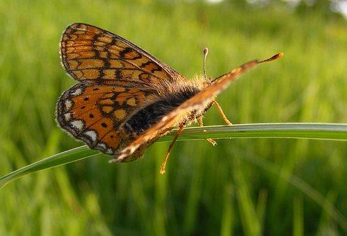 Bordered, Butterfly, Clossiana, Fritillary, Pearl