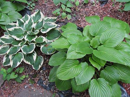 Hostas, Perennial, Garden, Plants, Shade Plants, Hosta