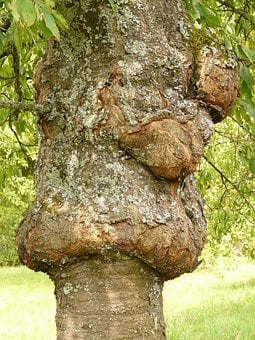 Tree, Disease, Proliferation, Canker, Fruit Tree Cancer