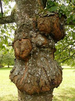 Tree, Disease, Proliferation, Canker, Fruit Tree Cancer