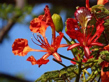Flowers, Flamboyant Flower, Flamboyant, Red Flowers