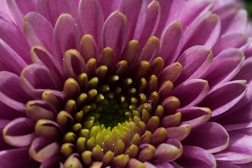 Flower, Nature, Plant, Autumn, Aster, Santini Aster