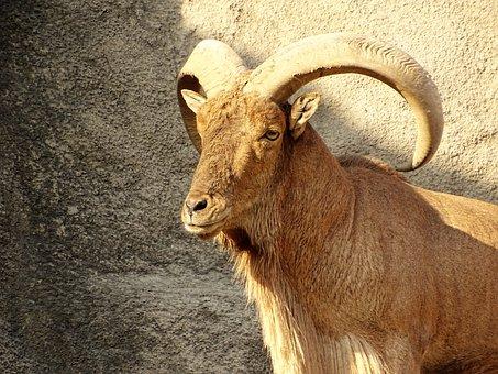 Ibex, Beast, Cliff, Wild Goat, Horn, Animal, Nature