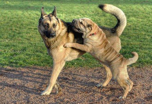 Dog, Sharpei, German Shepherd, Animal Play