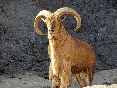 Wild Goat, Goat, Animal, Mammal, Horns, Bearded, Hair