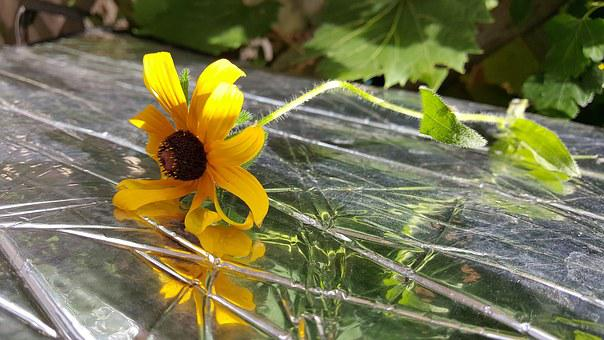 Flower, Reflection, Yellow, Blackeyed Susan