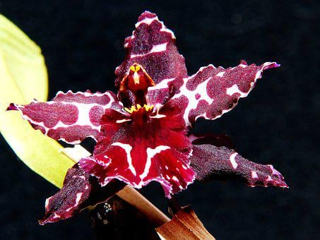 Orchid, Blossom, Bloom, Plant, Wine Red