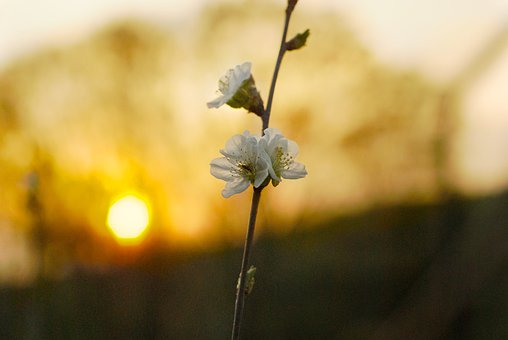 Cherry, Blossom, Nature, June, Tree, Flower