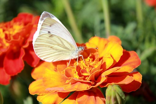 Cabbage Butterfly, Butterfly, Butterfly On A Flower