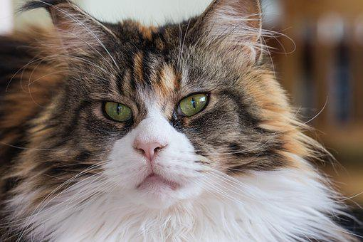 Cat, Maine Coon, Breed, Domestic Cat, Cat's Eyes