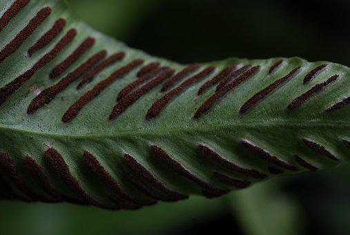 Plant, Fern, Macro, Spore, Asexual Reproduction
