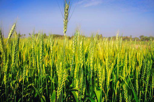 Wheat, Field, Agriculture, Harvest, Paddy, Asia, Plant