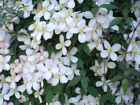 Flowers, Blossom, White, Cluster, Profusion, Blooming